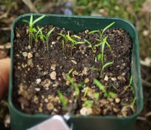 Carrot, Scarlet Nantes (Daucus carota), packet of 500 seeds, organic