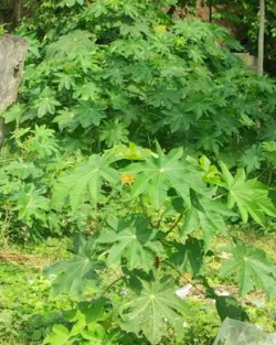 Castor, Unguja Green (Ricinus communis), packet of 5 seeds, organic