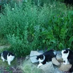 Catnip, Official (Nepeta cataria), packet of 200 seeds, organic