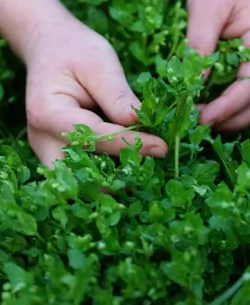 Chickweed, Common (Stellaria media), packet of 100 seeds, organic