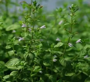 Calamint, Showy (Clinopodium grandiflorum), packet of 30 seeds, Organic