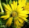 Compass Plant (Silphium laciniatum), packet of 20 seeds, organic