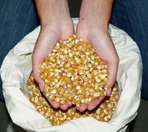 Corn, Golden Bantam (Zea mays) seeds by the pound, organic