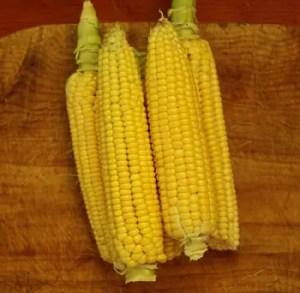 Corn, Golden Bantam (Zea mays) seeds by the pound, organic