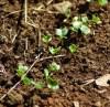 Radish, Daikon, Wakayama White (Raphanus sativus longipinnatus), packet of 100 seeds