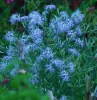 Dianthus, Fringed Pink (Dianthus superbus), packet of 50 seeds
