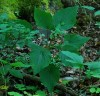 Wild Yam, American--Four-leaf Yam (Dioscorea quaternata) packet of 10 seeds, organic