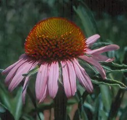 Echinacea angustifolia, Saskatchewan Ecotype, packet of 50 seeds, organic