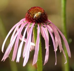 Echinacea pallida, packet of 100 seeds, organic