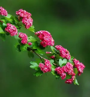 Hawthorn, English (Crataegus laevigata), packet of 10 seeds