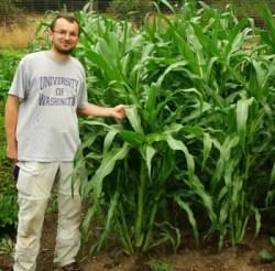 Corn, Golden Bantam (Zea mays), packet of 100 seeds, organic