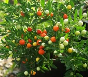 Jerusalem Cherry (Solanum pseudocapsicum), packet of 20 seeds, organic