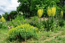 Mullein, Greek (Verbascum olympicum), packet of 100 seeds, organic