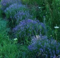 Lavender, Czech (Lavandula angustifolia krajova), packet of 50 seeds, organic