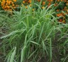 Lemongrass (Cymbopogon flexuosus), packet of 50 seeds