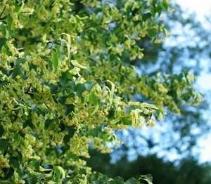 Linden, Littleleaf (Tilia cordata) potted tree TOP SIZE
