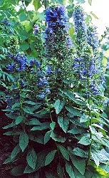 Lobelia, Great Blue (Lobelia siphilitica), packet of 100 seeds, organic