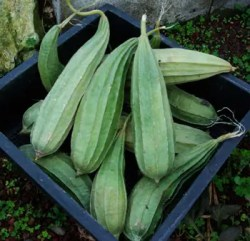 Luffa (Luffa cylindrica), packet of 10 seeds, organic