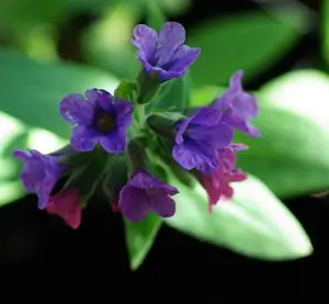 Lungwort (Pulmonaria officinale), packet of 10 seeds