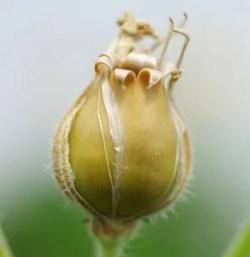 Maiden's Tears (Silene vulgaris), packet of 50 seeds, organic