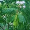Mimosa (Albizia julibrissin), packet of 20 seeds, Organic