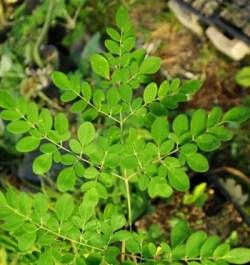 Moringa (Moringa oleifera) tree, organic