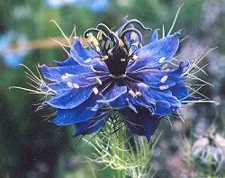 Nigella, Love in the Mist (Nigella damascena), packet of 50 seeds, organic