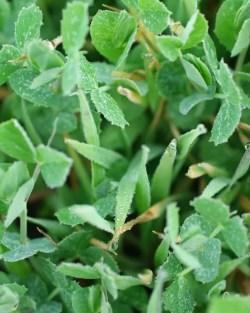 Peas, Field (Pisum sativum) by the pound, organic