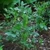 Okra, Clemson Spineless (Abelmoschus esculentus), packet of 20 seeds, organic