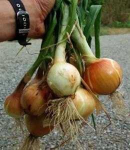 Onions, Valencia Keepers (Allium cepa), packet of 100 seeds, organic