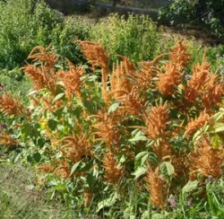 Amaranth, Orange (Amaranthus hypochondriacus), packet of 100 seeds, organic