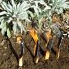 Amazon Palo Santo (Bursera graveolens) cured wood splits, 50 gram bag
