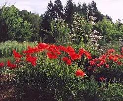 Poppy, Flanders (Papaver rhoeas), packet of 300 seeds