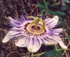 Passionflower, Purple (Passiflora edulis), packet of 20 seeds
