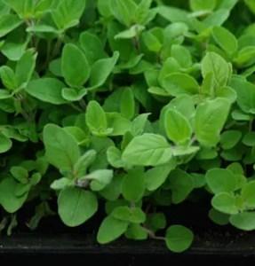 Marjoram, Perennial (Origanum vulgare hortensis), packet of 50 seeds, organic