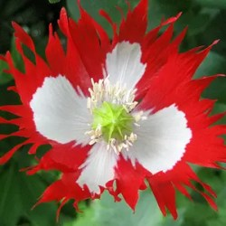 Poppy, Danish flag (Papaver somniferum), packet of 100 seeds