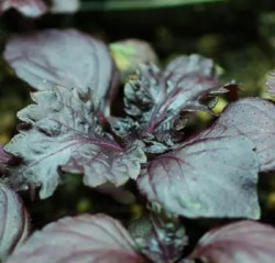 Shiso, Purple (Perilla frutescens), packet of 30 seeds, organic