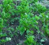 Celery, Giant Red (Apium graveolens), packet of 200 seeds, organic