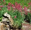 Valerian, Red (Centranthus ruber), packet of 30 seeds, organic
