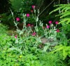 Rose Campion (Lychnis coronaria), packet of 50 seeds, organic