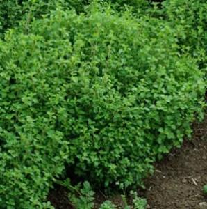 Savory, Multiflora (Satureja multiflora), packet of 20 seeds