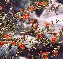 Mallow, Desert Globemallow (Sphaeralcea ambigua), packet of 100 seeds