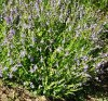 Skullcap, Barbat (Scutellaria barbata), packet of 50 seeds, organic