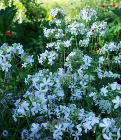 Soapwort (Saponaria officinalis), packet of 50 seeds, organic