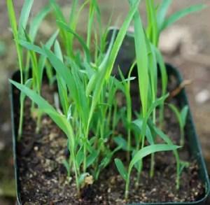 Sorghum, Tunisian Grain (Sorghum bicolor), packet of 300 seeds, organic