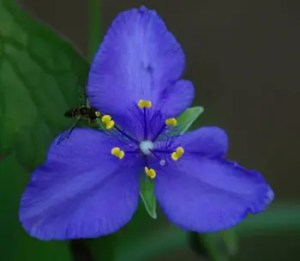 Spiderwort, Western (Tradescantia occidentalis), packet of 50 seeds