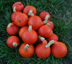 Squash, Red Kuri (Cucurbita maxima), packet of 15 Seeds, Organic