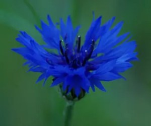 Cornflower, Dark Blue (Centaurea cyanus), packet of 50 seeds, organic