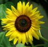 Sunflower, Hopi Black Dye (Helianthus annuus), packet of 30 seeds, organic