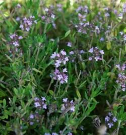 Thyme, English Broadleaf (Thymus vulgaris), packet of 100 seeds, organic